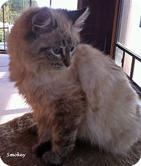 Ragdoll Kitten for adoption in Mandeville Canyon, California - Smokey