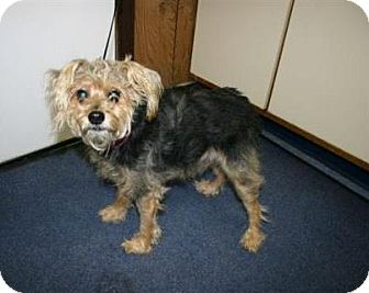 Yorkie, Yorkshire Terrier Mix Dog for adoption in Prole, Iowa - Leo