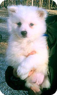 American Eskimo Dog Puppy for adoption in Wichita, Kansas - Ventus