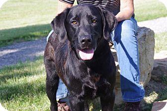 Labrador Retriever Dog for adoption in Elyria, Ohio - Hunter