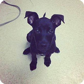 Labrador Retriever Mix Puppy for adoption in Gainesville, Florida - Mikey