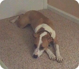 Boxer/Labrador Retriever Mix Dog for adoption in North Olmsted, Ohio - Tucker-Courtesy Post