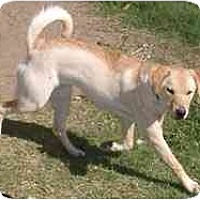 Labrador Retriever/Terrier (Unknown Type, Medium) Mix Dog for adoption in Dodge City, Kansas - Mischief