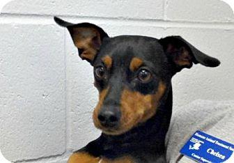 Miniature Pinscher Mix Dog for adoption in Mt. Pleasant, Michigan - Filibuster