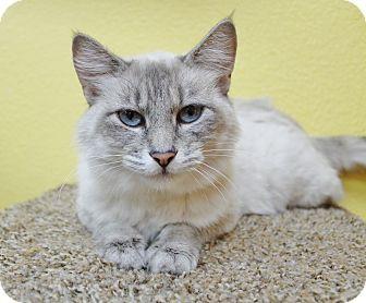 Siamese Cat for adoption in Benbrook, Texas - Bentley