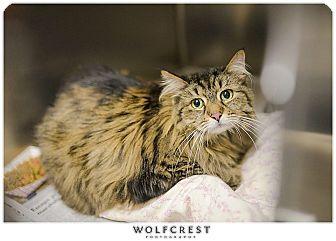 "Domestic Longhair Cat for adoption in Fredericksburg, Virginia - ""Couture"""