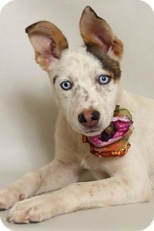 Husky/Labrador Retriever Mix Puppy for adoption in Kerrville, Texas - Riley