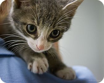 Domestic Shorthair Kitten for adoption in Bulverde, Texas - Paul