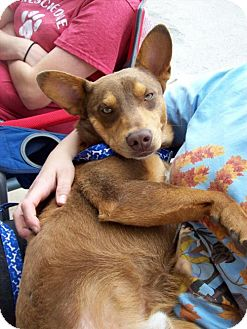 Australian Cattle Dog/Australian Shepherd Mix Dog for adoption in Von Ormy, Texas - Smiley