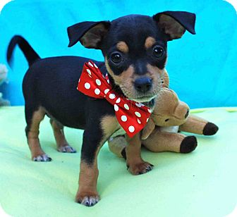 Miniature Pinscher/Chihuahua Mix Puppy for adoption in Irvine, California - Weasel