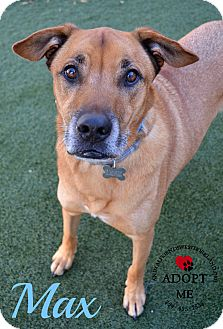 Shepherd (Unknown Type)/Labrador Retriever Mix Dog for adoption in Youngwood, Pennsylvania - Max