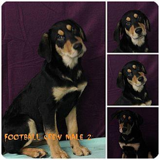 Hound (Unknown Type)/Labrador Retriever Mix Puppy for adoption in North Lima, Ohio - Football Crew