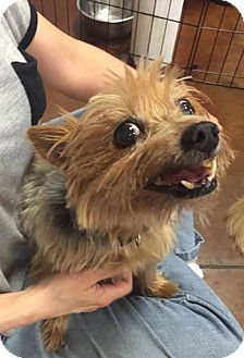 Yorkie, Yorkshire Terrier Mix Dog for adoption in Las Vegas, Nevada - Daisy