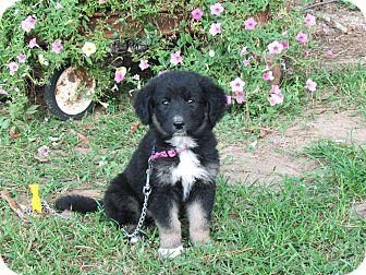Australian Shepherd/German Shepherd Dog Mix Puppy for adoption in Bedminster, New Jersey - MORGAN
