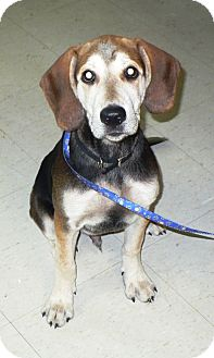 Beagle/Labrador Retriever Mix Puppy for adoption in Eastpoint, Florida - Charlie