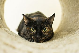 Domestic Shorthair Cat for adoption in Los Angeles, California - Isabell