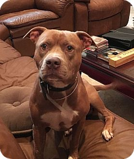 American Staffordshire Terrier/American Bulldog Mix Dog for adoption in Miami, Florida - Krachy