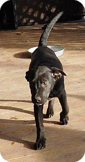 Labrador Retriever/Australian Cattle Dog Mix Dog for adoption in Von Ormy, Texas - Goodness