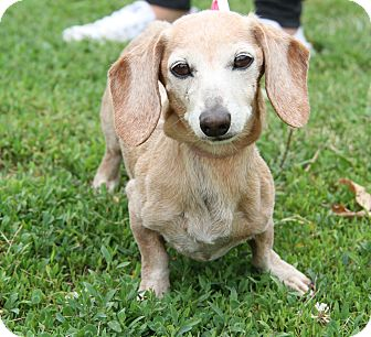 Dachshund Mix Dog for adoption in Marietta, Ohio - Libby