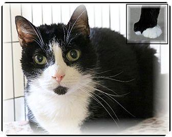Polydactyl/Hemingway Cat for adoption in Rochester, New York - Floyd