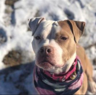 American Bulldog/American Pit Bull Terrier Mix Dog for adoption in Fallston, Maryland - Ivy Rose