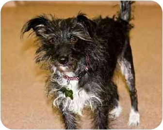 Terrier (Unknown Type, Small) Mix Dog for adoption in Denver, Colorado - Friday