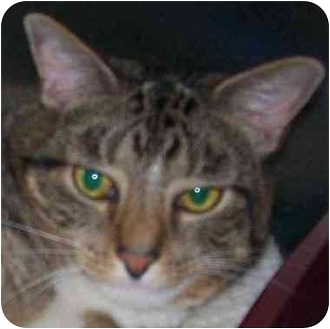 Domestic Shorthair Cat for adoption in Annapolis, Maryland - Mack