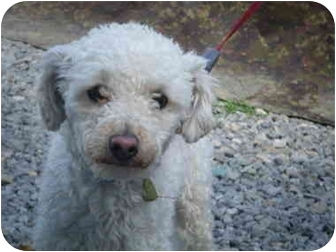 Poodle (Miniature) Dog for adoption in Rawdon, Quebec - Niki