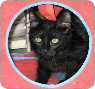 Domestic Mediumhair Kitten for adoption in Alden, Iowa - Uhuru