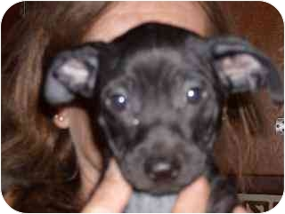 Chihuahua/Dachshund Mix Puppy for adoption in Edon, Ohio - Kale...ADOPTED
