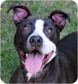 American Staffordshire Terrier/Pit Bull Terrier Mix Dog for adoption in Chicago, Illinois - Chelsea