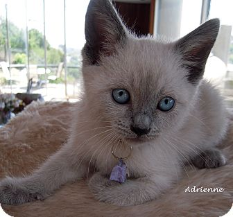 Siamese Kitten for adoption in Mandeville Canyon, California - Adrienne