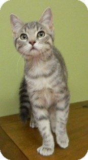 Domestic Shorthair Cat for adoption in Columbus, Nebraska - Sable