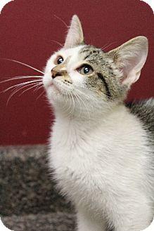 Domestic Shorthair Kitten for adoption in Chicago, Illinois - Lovely Rita