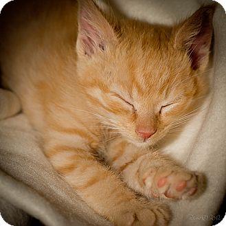 American Shorthair Kitten for adoption in Hazard, Kentucky - Scotch