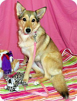 Sheltie, Shetland Sheepdog Mix Dog for adoption in Waldorf, Maryland - Autum #268