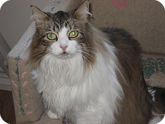 Japanese Bobtail Cat for adoption in Huffman, Texas - Sam