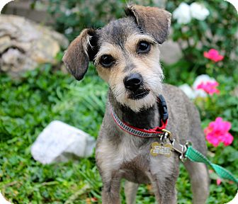 Yorkie, Yorkshire Terrier/Chihuahua Mix Dog for adoption in Los Angeles, California - Lily Wong