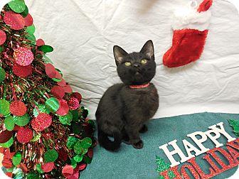 Domestic Shorthair Kitten for adoption in Buena Vista, Colorado - Penn