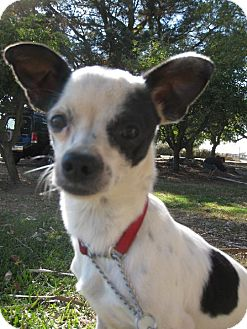 Chihuahua Mix Dog for adoption in Elk Grove, California - PEPPER