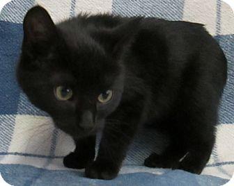 Domestic Shorthair Kitten for adoption in Lloydminster, Alberta - Jordan