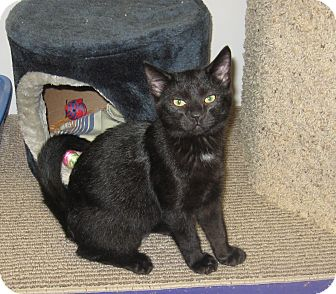 Domestic Shorthair Kitten for adoption in Port Clinton, Ohio - Spooky