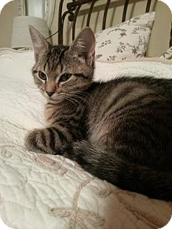 Domestic Shorthair Kitten for adoption in Acushnet, Massachusetts - Penne