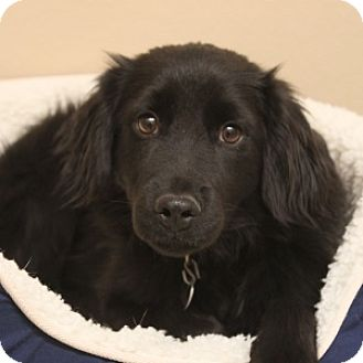 Retriever (Unknown Type) Mix Dog for adoption in Naperville, Illinois - Prince