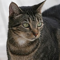 Domestic Shorthair Cat for adoption in North Fort Myers, Florida - Andi