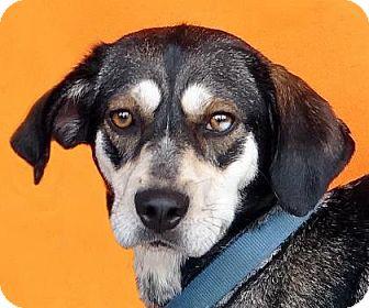 Coonhound/Siberian Husky Mix Dog for adoption in Renfrew, Pennsylvania - Mia