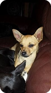 Chihuahua Mix Dog for adoption in Mesa, Arizona - Argyle
