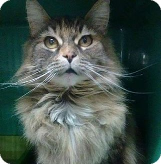 Domestic Longhair Cat for adoption in THORNHILL, Ontario - Sahara