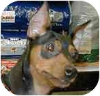 Miniature Pinscher Dog for adoption in Greensboro, North Carolina - Lil-Dude :: LD