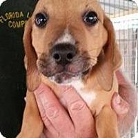 Adopt A Pet :: Gambit - Gainesville, FL